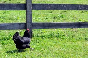 black-australorp-hen-300x200
