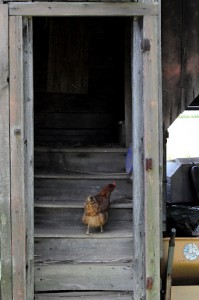chicken-on-stairs-199x300